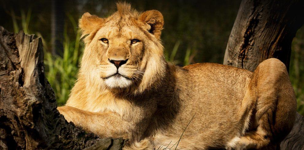 lion, fur, animal-3968930